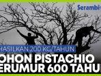 warga-satu-desa-merawat-pohon-pistachio-yang-berumur-600-tahun.jpg