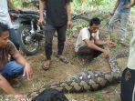 warga-subulussalam-tangkap-ular-sawah.jpg