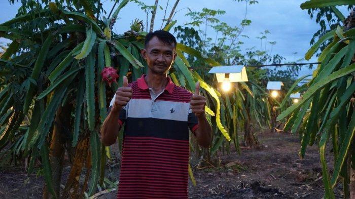 Produksi Buah Naga Sugiono Meningkat, 20 Petani Lain di Pulau Buru Ingin Meniru Pakai Listrik PLN