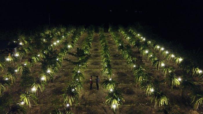 MALUKU: Kebun buah naga milik Sugiyono di Desa Mako, Kabupaten Buru, Maluku.