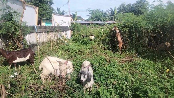 MALUKU: Sejumlah hewan kurban jenis kambing Lokasi di Jalan Cengkih, Prepatan Pasar Binaya Masohi kawasan Gereja Tabakar, Kota Masohi, Jumat (16/7/2021).