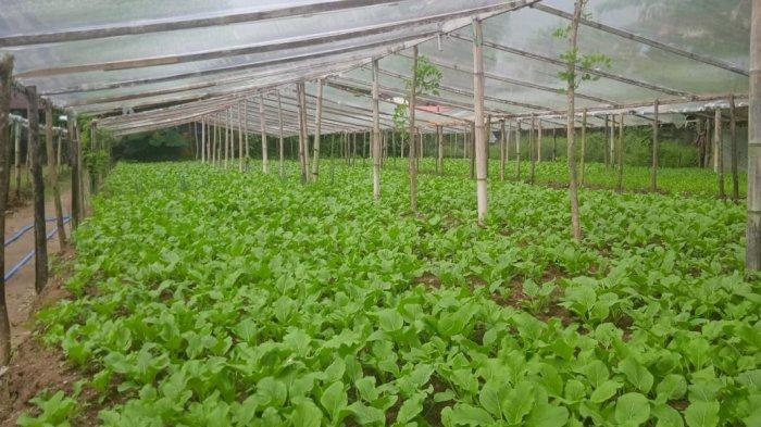 Harga Sayuran Mahal di Pasar Mardika Ambon, Ini Penjelasan Petani