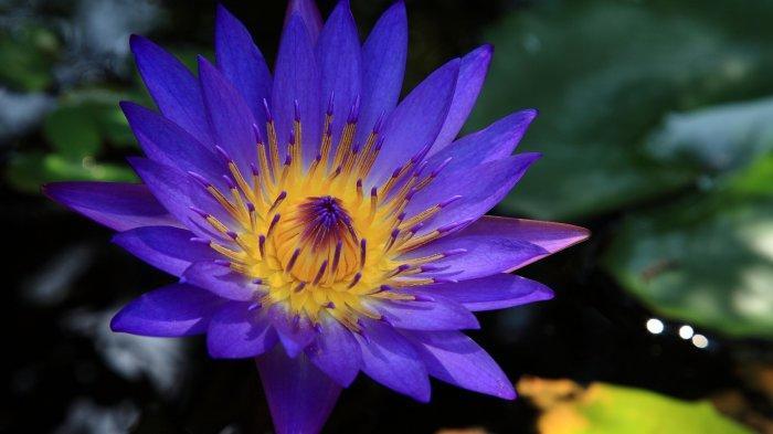 Bunga teratai biru.