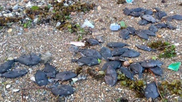 Ribuan Ikan Terdampar di Pantai, Beredar Isu Pertanda Tsunami, Warga Ambon Mengungsi, Ini Kata BMKG