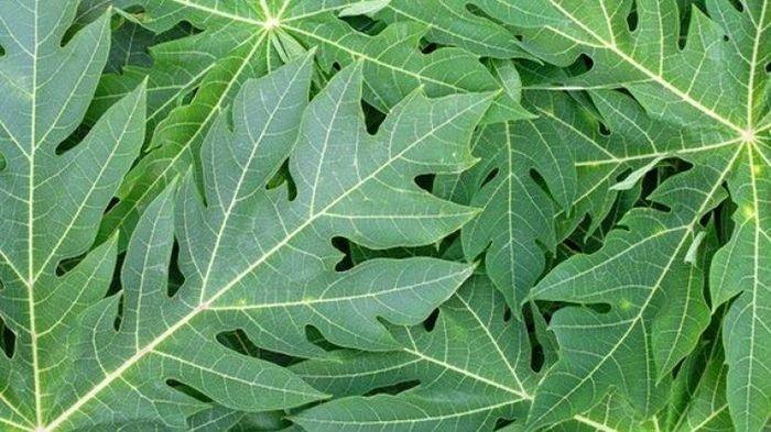 Ilustrasi daun pepaya