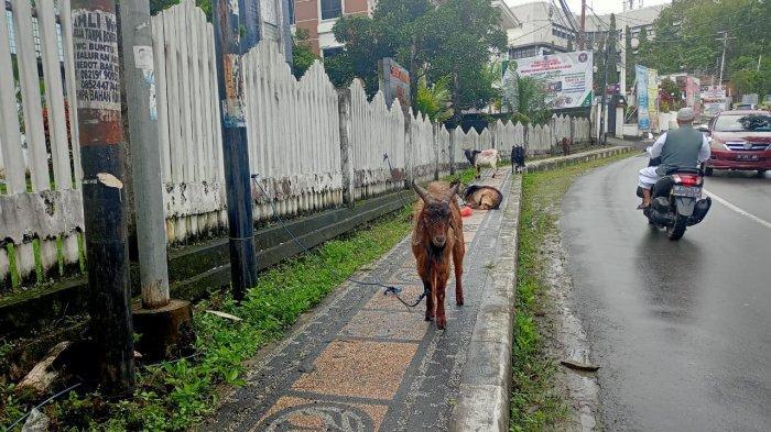 Penjual Hewan Kurban Mulai Ramai Jelang Idul Adha di Kota Ambon