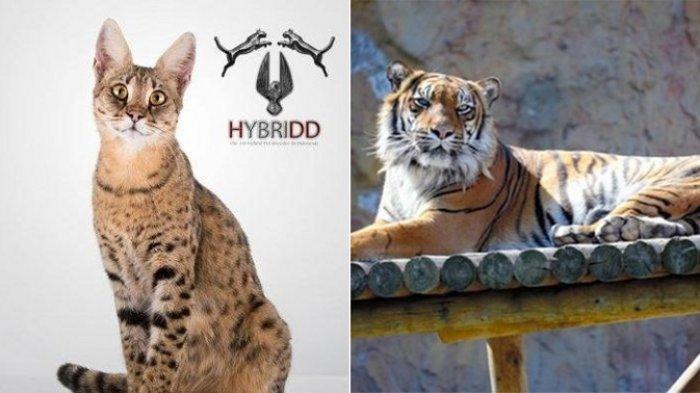 Beli Kucing Savanna secara Online, Pasangan Ini Kaget yang Datang Malah Anak Harimau Sumatera