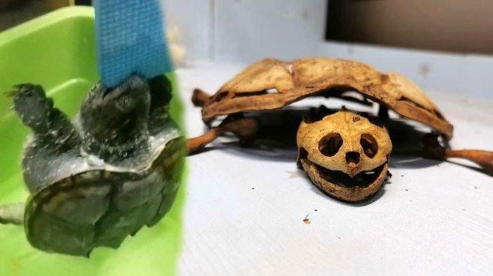 VIRAL Kura-kura Peliharaan Tinggal Kerangka setelah 8 Bulan Ditinggal di Asrama saat Lockdown