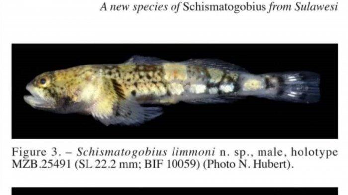 Ikan 'Schismatogobius limmoni'