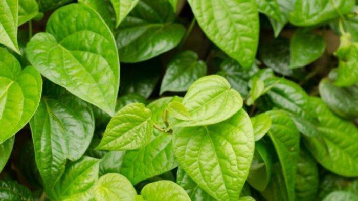 Manfaat mengunyah daun sirih