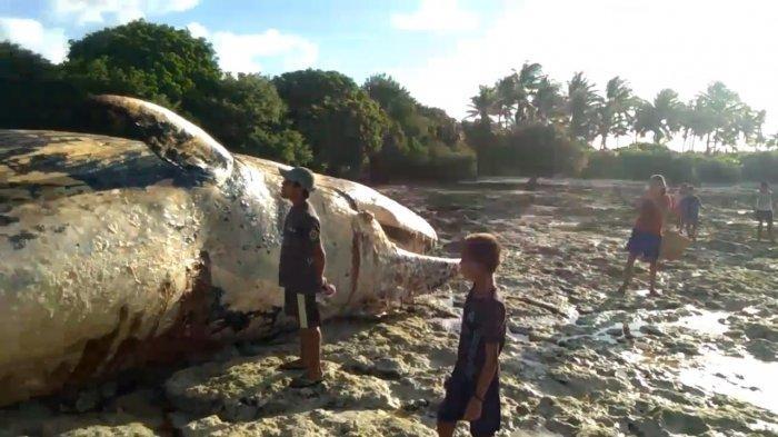 Paus Bungkuk Sepanjang 9 Meter Ditemukan Mati Terdampar di Kepulauan Tanimbar