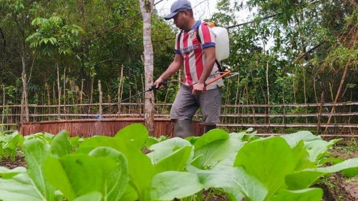 Produktif di Tengah Pandemi Covid-19, Pemuda di Hitu Maluku Tengah Bikin Kebun Sayur
