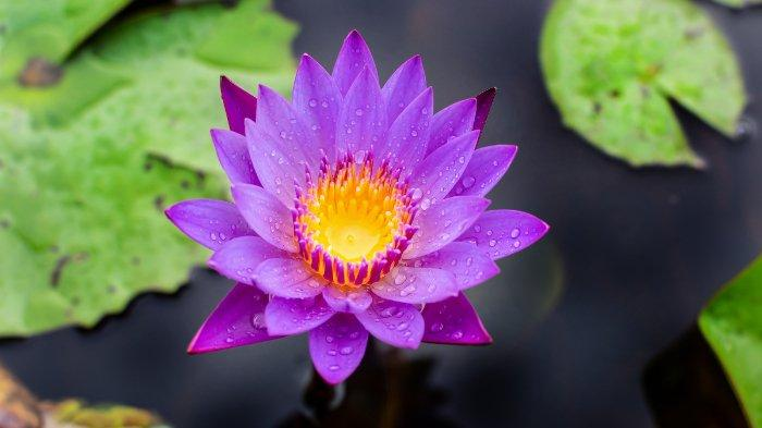 Fakta Unik Bunga Teratai: Semakin Keruh Airnya, Semakin Indah Bunga Teratai saat Muncul