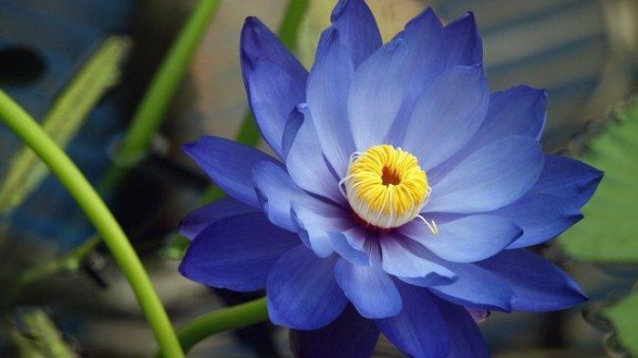 11 Manfaat Bunga Teratai Biru untuk Kesehatan: meningkatkan Seksualitas hingga Redakan Nyeri Haid