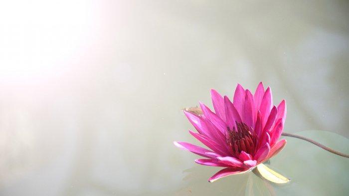 Bunga teratai.