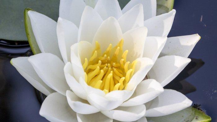 Bunga teratai putih.