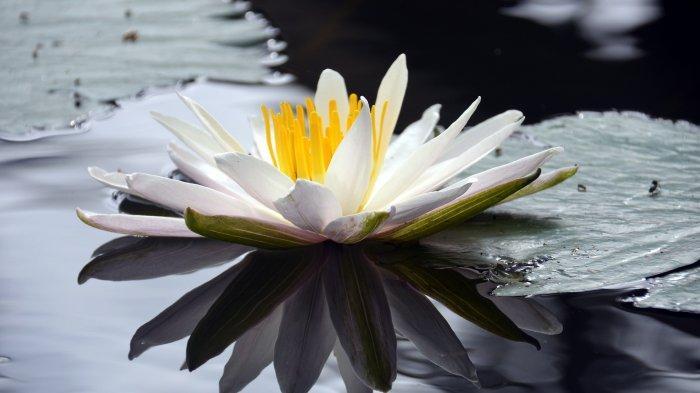 6 Manfaat Bunga Teratai Putih untuk Kesehatan, Menjadi Tonik Jantung hingga Bantu Tingkatkan Mood