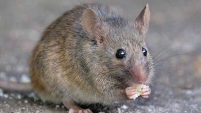 Cara Usir Tikus di Rumah Tanpa Menggunakan Racun