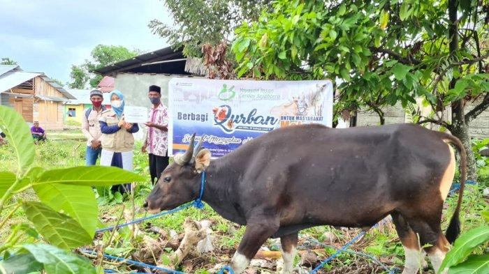 Sasar Indonesia Timur, Maluku Dapat 54 Ekor Sapi Kurban dari Yayasan Indah