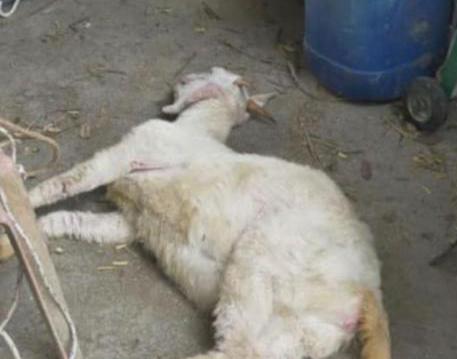 Kambing tewas disetubuhi
