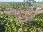 kondisi-tanaman-melon-di-urut-sewu-desa-setrojenar.jpg