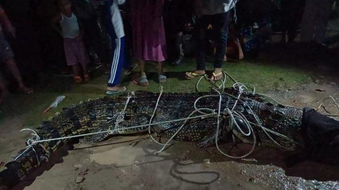 Seekor buaya yang berhasil ditangkap oleh warga di Dusun Jalan Baru Desa Kepoh pada Sabtu, (12/6/2021) malam