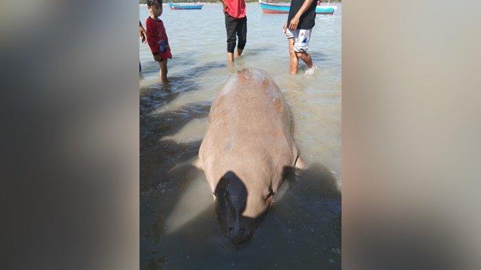 Heboh Dugong Terdampar di Pasir padi Pangkalpinang, Tahukah Anda Hewan Ini Kerabat Evolusi Gajah?