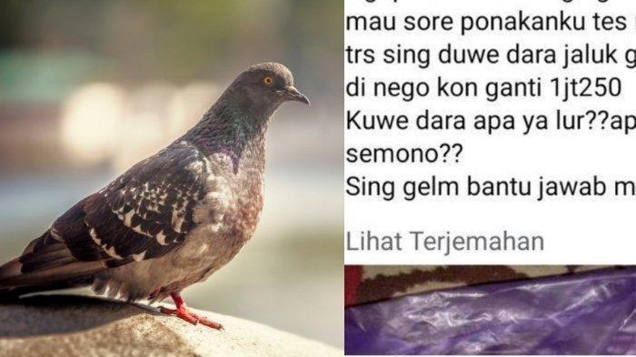 Pengendara Tabrak Burung Dara Di Tengah Jalan, Diminta Untuk Ganti Rugi Rp 2,5 Juta