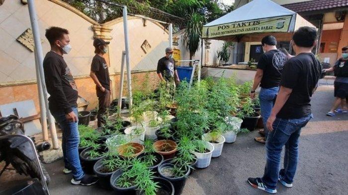 Polisi Sita Ratusan Pot Hidroponik Tanaman Ganja Di Brebes
