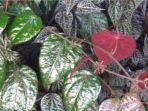 20210627-ilustrasi-daun-sirih-merah.jpg