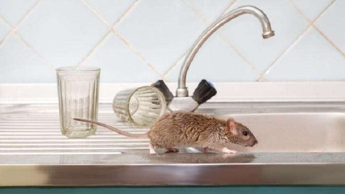 Berasal Dari Tikus, Begini Gejala dan Penyebaran Hantavirus Yang Harus Diwaspadai