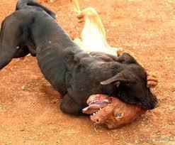Waw Rp 3 3 Miliar Beredar Di Dog Fighting Tribun Bali