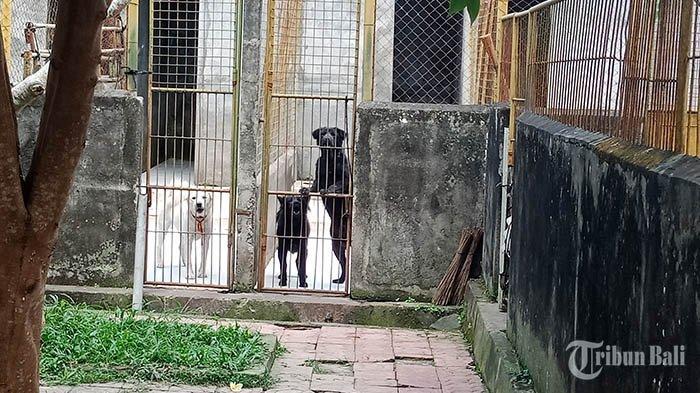 Anggaran Pakan Kurang, Perkawinan Anjing Kintamani di Penangkaran Dinas PKP Bangli Belum Dilakukan
