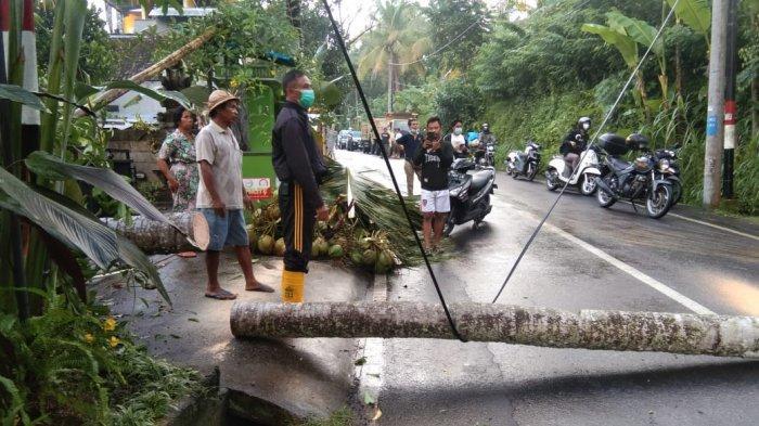 Dampak Hujan Lebat, Pohon Kelapa Tumbang di Jalan Raya Buahan Gianyar
