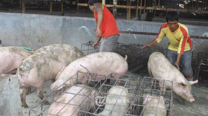 Babi dan Streptococcus Meningitis di Bali