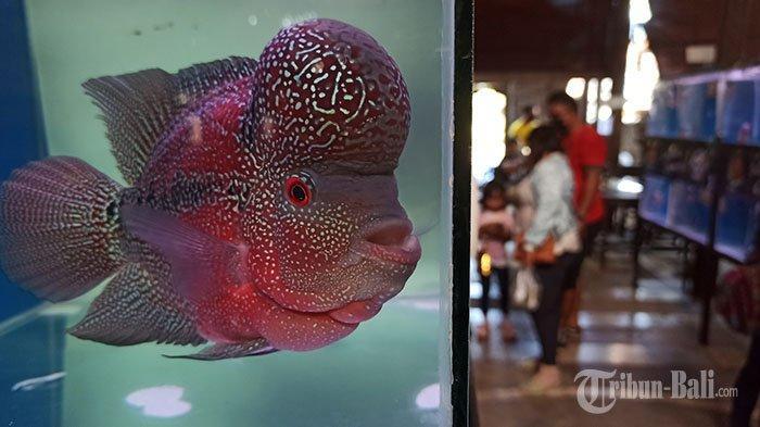 112 Louhan Ikut Kontes di Penggak Men Mersi Denpasar, Louhan Milik Dwija Pernah Ditawar Rp 25 Juta