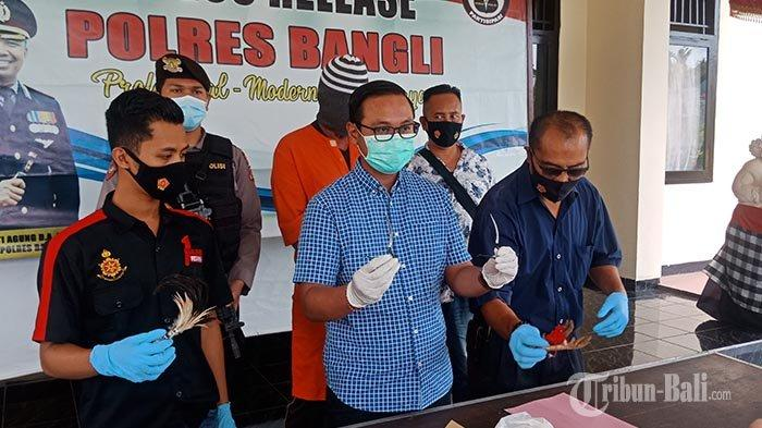 Gelar Tajen & Langgar Protokol Kesehatan, Seorang Bebotoh di Banjar Sidembunut Bangli Ditangkap