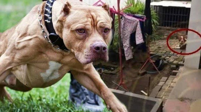Bocah Tewas Setelah Digigit Anjing, Lumpuh dan Hilang Ingatan Sebelum Meninggal