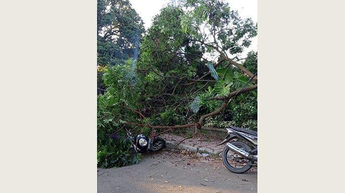 Pohon Perindang Lapuk Timpa Motor di Payangan Gianyar