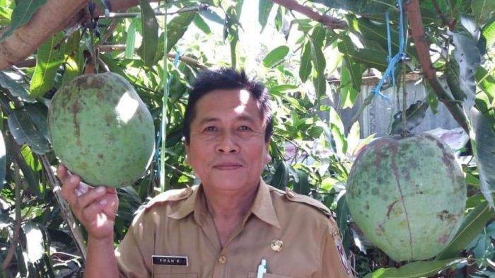 Viral Buah Mangga Jumbo di Manado, Beratnya Bisa Capai 2 Kg, Rasanya Seperti Lemon Bali
