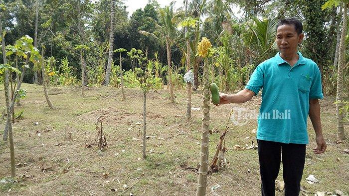 Puluhan Hektare Lahan Pertanian Warga di Abang Karangasem Diserang Hama Gayas
