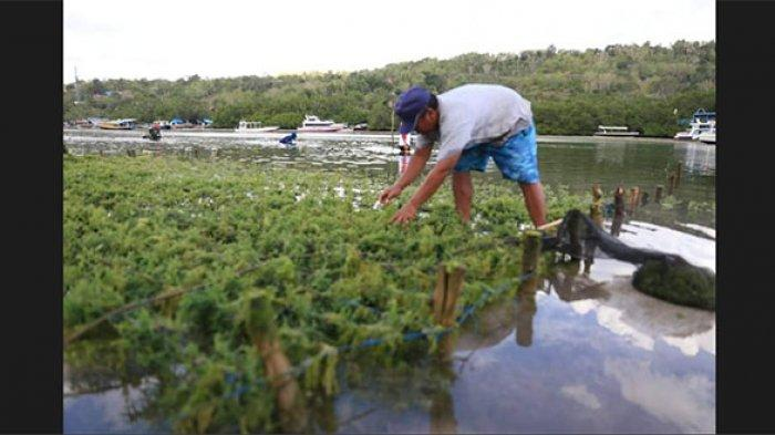 Petani Rumput Laut di Nusa Lembongan Klungkung Disarankan Atasi Hama dengan Sistem Tumpang Sari