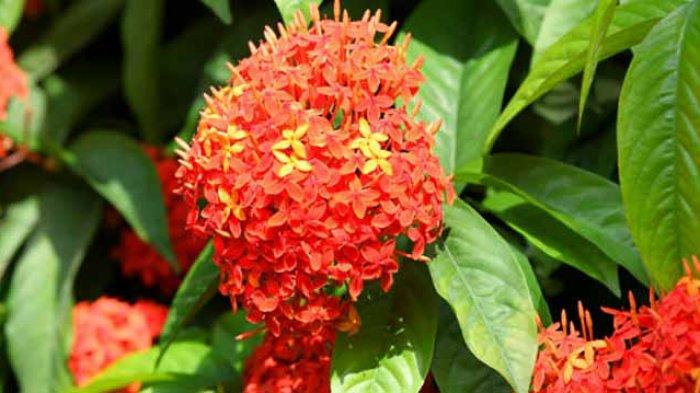 Ternyata Bunga Asoka Miliki Banyak Manfaat Tribun Bali