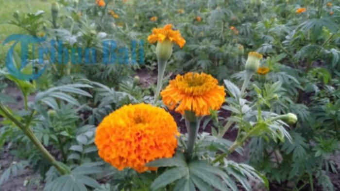 Mitos Bunga Gumitir Tidak Boleh Dipakai Sembahyang