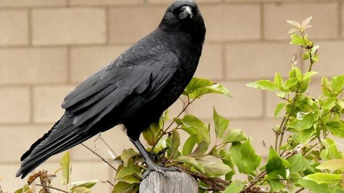 tiga burung gagak hitam malam hitam regulasi bitcoin indonesia