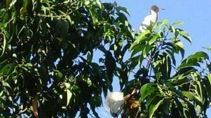 Musim Kawin Kokokan di Petulu Gianyar Sudah Dekat, Pengelola Harapkan Kunjungan Wisatawan