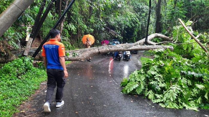 Pohon Tumbang Tutup Jalan & Timpa Patung Pura di Gianyar, Sempat Ganggu Arus Lalu Lintas