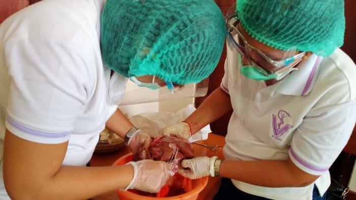 Dokter Hewan di Bangli Temukan Cacing Pada Hati Sapi, Diduga Akibat Pemberian Pakan