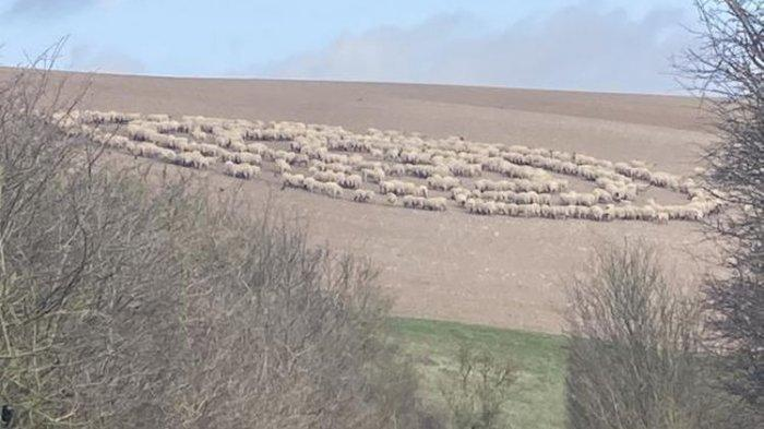 Kawanan Domba Ini Bikin Formasi Misterius Mirip Kapal Alien