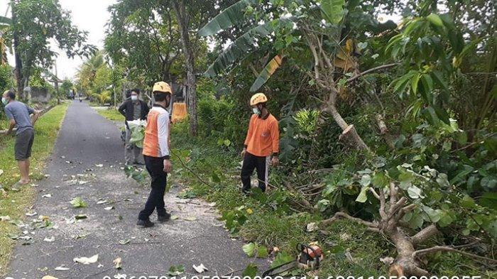 Pohon Waru Setinggi 10 Meter Tumbang di Jalan Pulau Singkep Jembrana